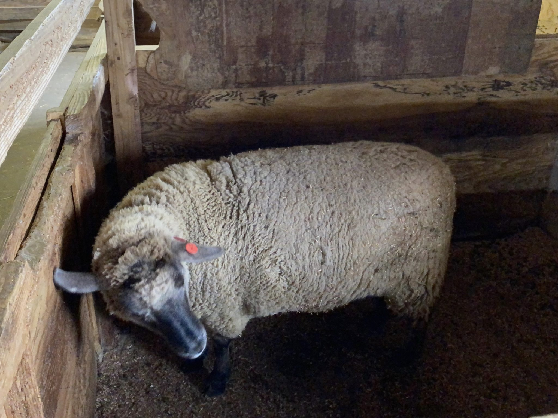 仁賀保高原 土田牧場 秋田県にかほ市馬場 セントバーナー舎 羊